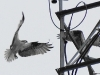 Osprey landing on antenna, Applewood Estates, Poulsbo