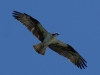 Osprey soaring above Applewood Estates, Poulsbo