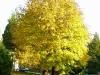 Beautiful Maple in Edgewater Estates